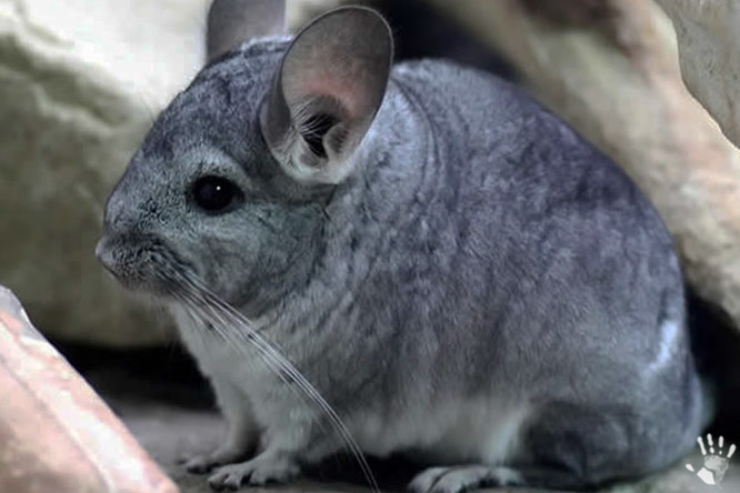 Шиншилла (лат. Chinchilla)